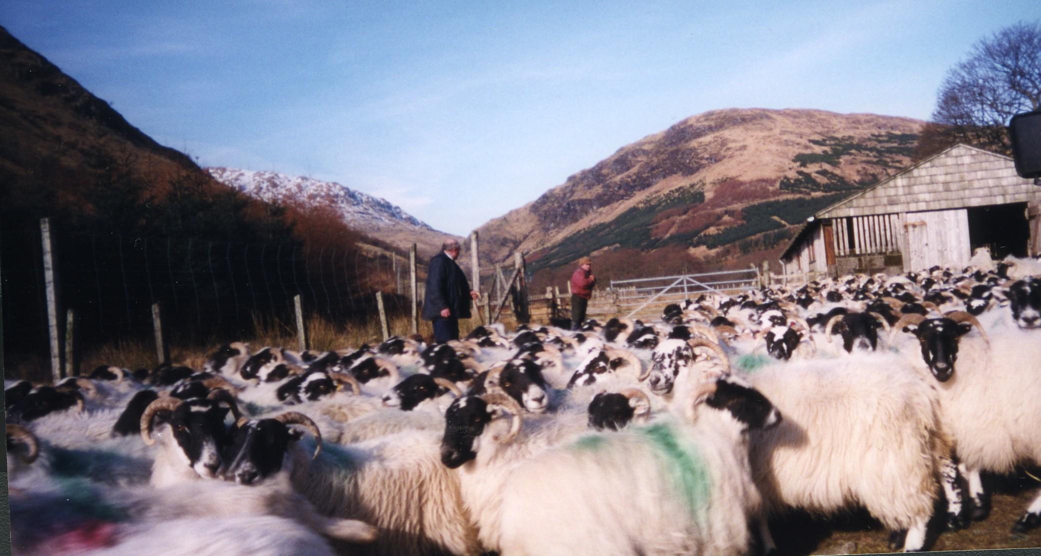 Sheep Gathering, Glen Fyne