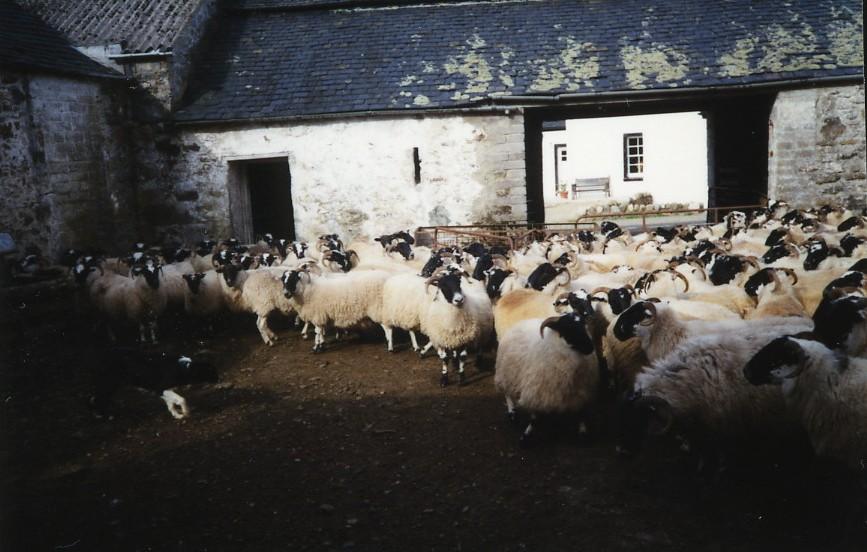 Sheep at Ardno